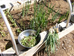 Mesculun-Mix Salad Greens, Chives & Onions