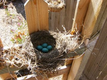 Robins' Eggs (American Red-Breasted)