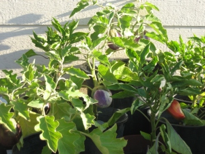 Garden (Egg-Plant & Bell-Pepper)  September 2012